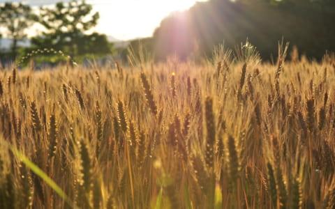 群馬の小麦畑